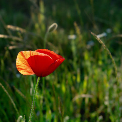 Coquelicots / Reproduction interdite © Carles Prat