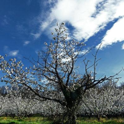 Cerisiers / Reproduction interdite © Carles Prat